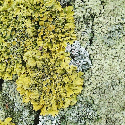 No People Yellow Nature Outdoors Day Close-up High Angle View Macro Macro Photography Macro Nature Macro_floretlilya Moss Tree First Eyeem Photo