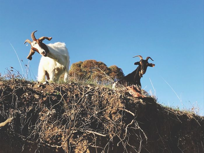 Goats Sky Low Angle View Nature Clear Sky No People Animal Mammal Domestic Animals Group Of Animals Livestock Domestic Animal Wildlife Vertebrate