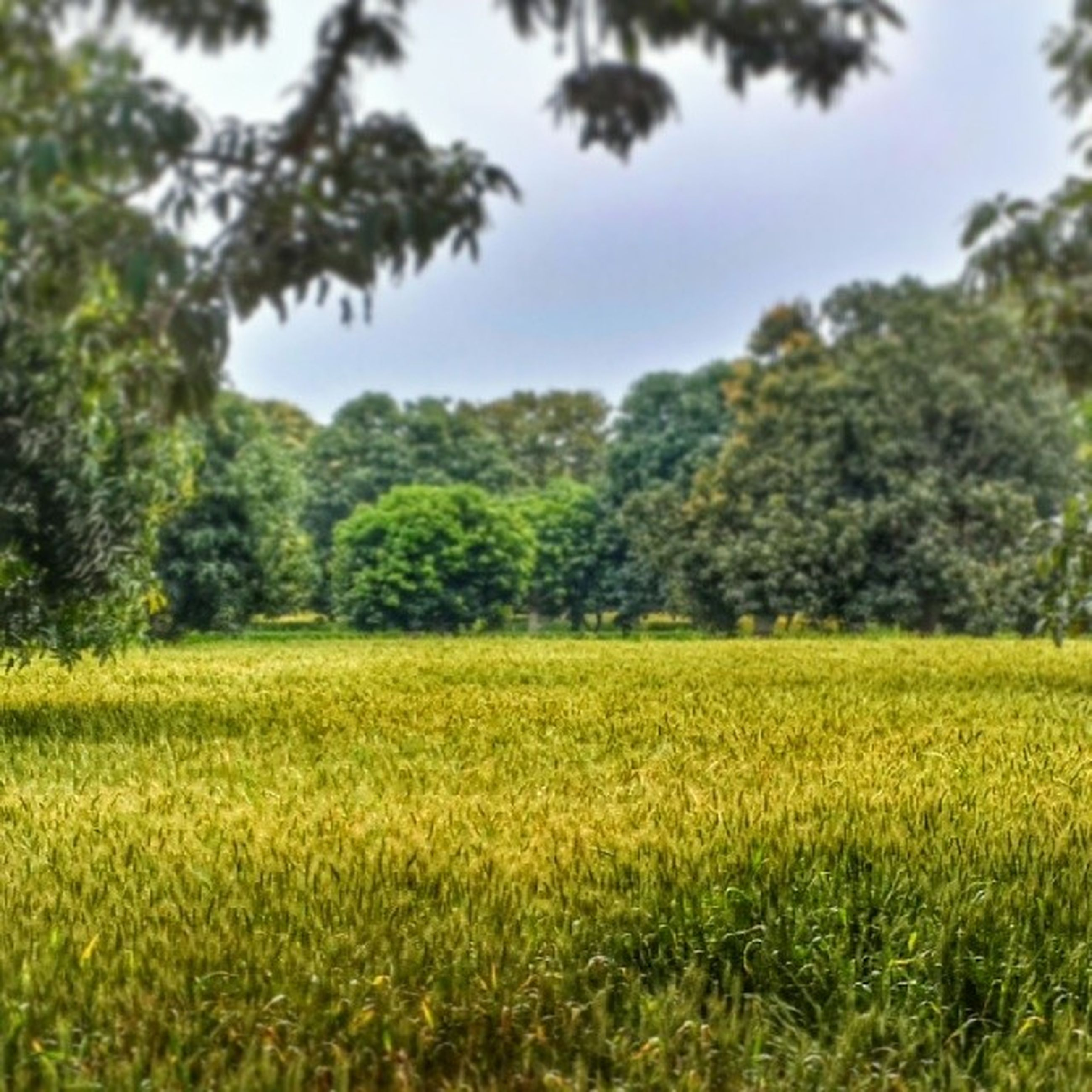 growth, tree, field, green color, tranquility, tranquil scene, grass, beauty in nature, landscape, nature, scenics, sky, plant, grassy, lush foliage, green, day, no people, outdoors, rural scene