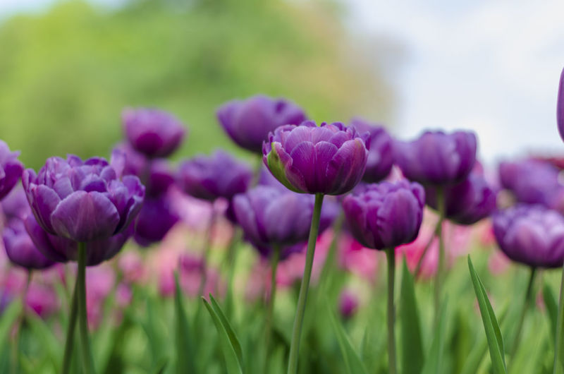 Flowering Plant Flower Plant Beauty In Nature Growth Purple Freshness Vulnerability  Close-up Field Nature Fragility No People Focus On Foreground Selective Focus Land Green Color Day Inflorescence Outdoors Flower Head