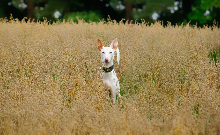 Ibizan Hound Animal Animal Themes Canine Day Dog Domestic Domestic Animals Field Grass Land Mammal Motion Nature No People One Animal Outdoors Panting Pets Plant Podenco Ibicenco Portrait Running Vertebrate