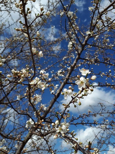in bloom White