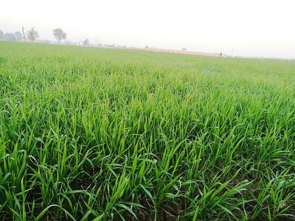 Growth Field Agriculture Green Color Landscape Rural Scene Beauty In Nature No People Day Grass First Eyeem Photo Paki_photographers Green Color HuaweiP9 Grass Pakistani Beauty Lifestyles Nature Tranquility Scenics Outdoors Sky Pakistan Zindabad <3 Amazing Morning Beauty Peshawar Pakistan