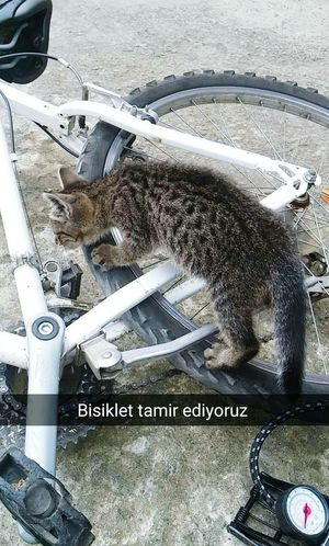 Cat Bicycle Tekir Bicycling Repairing Tires Best Friend Trabzon Beşirli