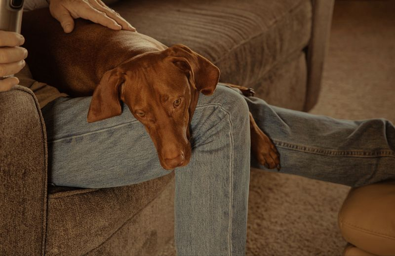 Resting Viszla Low Section Human Body Part Human Leg Indoors  Jeans Body Part Furniture Sofa Relaxation One Person Mammal One Animal Real People Lifestyles Home Interior Domestic Animals Canine Domestic Pets