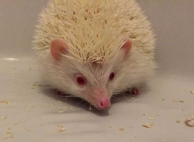 Hedgehog Cheese! Relaxing Love Cute Pets Playing With The Animals Hello World Hi! Nature