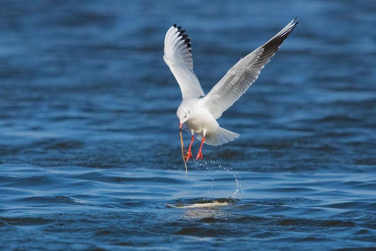 红嘴鸥:肢解 Bird