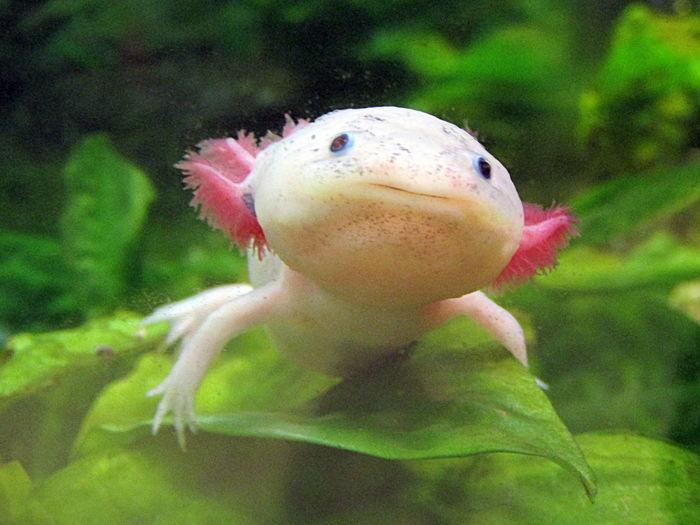 Axolotls--bei Diesen Tieren Wachsen Körperteile In Wenigen Wochen Wieder Nach--wenn Sie Abgetrennt Sind-- Rostock 2017 The Axolotl Can Re-grow Body Parts Within Afew Weeks Underwater Wunder Der Selbstheilung