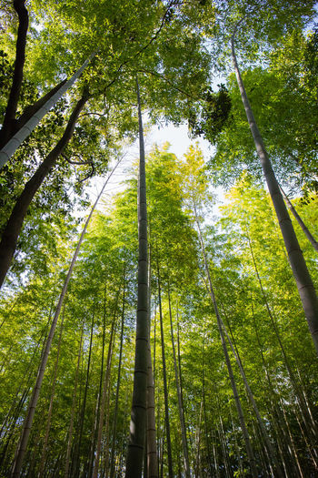 Bamboo Tree Plant Forest Low Angle View Growth Land Beauty In Nature Green Color Tall - High Bamboo - Plant Tree Trunk Nature Trunk WoodLand Bamboo Grove Bamboo No People Tranquility Day Outdoors Tree Canopy  Directly Below Rainforest Kyoto Japan Japan Photography Canon Canonphotography Travel Destinations Travel Green Plant Trees Forest Photography Lookingup EyeEm Best Shots EyeEmNewHere Foliage