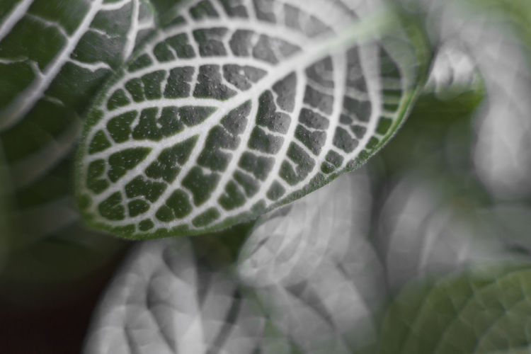 Macro close up of veins on green leaves from miniature plant Care Earth Green Life Plant Veins In Leaves Beauty In Nature Blur Bokeh Close-up Foliage Freshness Growth Leaves Macro Miniature Nature Oxygen Selective Focus Sustainable Resources Vegetation Veins