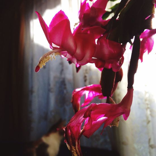 Beauty In Nature Flower Petal Fragility Growth Freshness Pink Color Nature