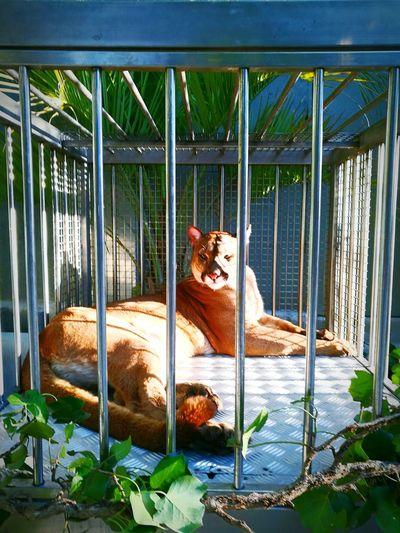 La Centrale Toulouse Fs313 Felins Animals Jungle Fauve JAGUAR Afterwork Exotic...by fs313