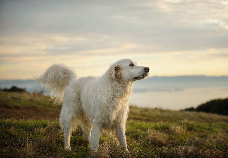 Golden Retriever portrait in field Domestic Pets Domestic Animals Animal Themes Mammal Dog Canine Animal One Animal Sky Cloud - Sky Field Land Nature Looking Away No People Outdoors Golden Retriever Retriever White Retriever Purebred Dog