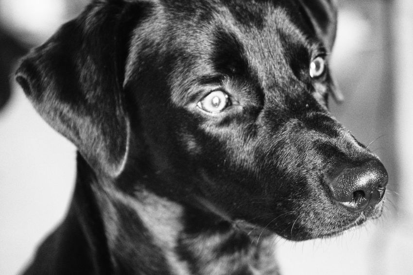 Black & White A6000 A6000photography Animal Animal Themes Bestfriend Black Dog Close-up Dog Domestic Animals Indoors  No People One Animal Pets Portrait Sony Sony A6000 This Is Family