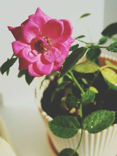Good Morning Nature Flower Reshasuper Followme Plant Beauty In Nature EyeEm Top Freedom Sammer Vegetable Pink Color Blossom Rose🌹 Vegan Love Beautiful