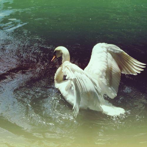 Cisne Schwan  Nature Love