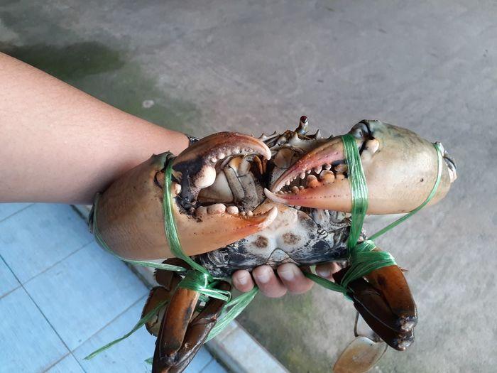 Big crab surat thailand