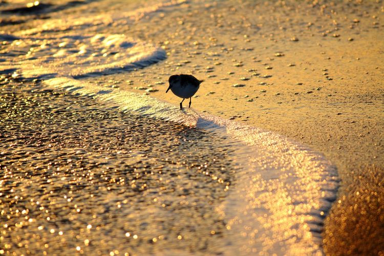 Sandpiper at
