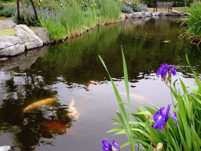 あやめ 鯉 Iris Flower Domestic-carp Garden Photography May