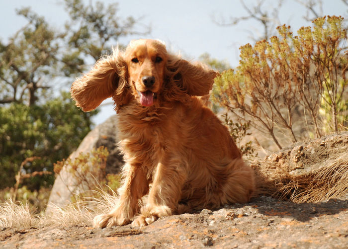 beautiful cocker spaniel with her ears blowing in the wind. Cockerspaniel Rock Paws Pets Sitting Sticking Out Tongue Smiling Sky Panting Animal Tongue Animal Mouth Animal Hair Ear Animal Face Hairy  Canine Animal Nose