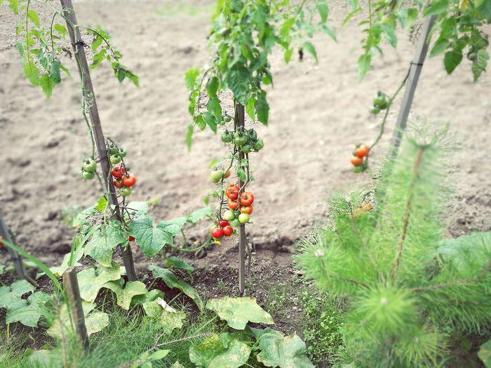 Tomato Plants Growing On Field
