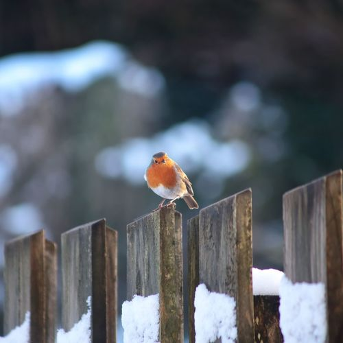 European Robin Bird (erith a custom rubecula ) on garden fence in the snow Irish Winter Castlebar Robin Mayo Ireland Irish Winter First Snow Cold Temperature Winter Snow Wood - Material Animal Wildlife Perching Outdoors Animals In The Wild One Animal No People Bird Animal Themes Day Nature Beauty In Nature Wooden Post Closing Close-up Water