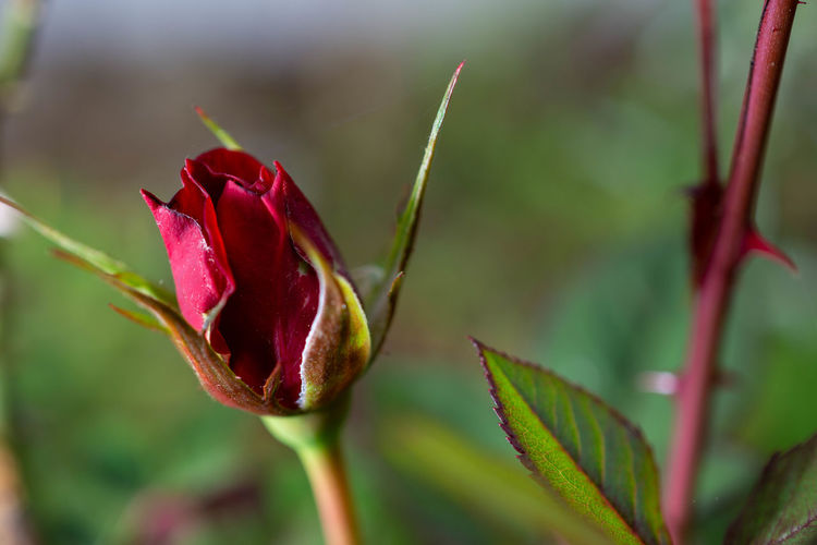 Close-up of red rose flower bud
