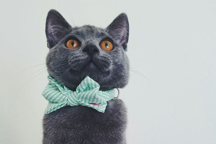 Kitten Cats British Shorthair Bowties Pet Portraits