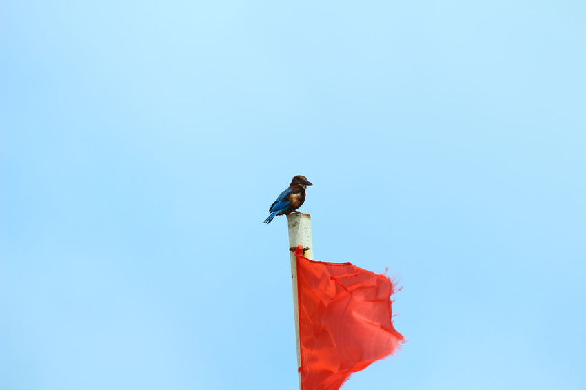 Kingfisher on Flage Pole Animal Wildlife Bird Blue Bird Flag Pole Halcyon Ice Bird Kingfisher Nature Photography One Animal
