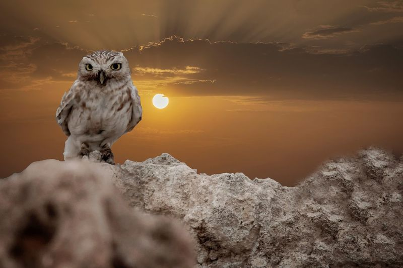 Peeping little Owl 🦉 on sunset Animal Themes Animal One Animal Animal Wildlife Mammal Animals In The Wild Nature Vertebrate No People Beauty In Nature Rock Solid Looking Sky Sunset Winter Water Cold Temperature Snow
