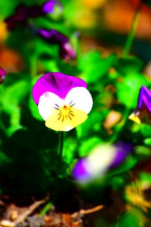 Beauty In Nature Close-up Day Flower Flower Head Flowering Plant Focus On Foreground Fragility Freshness Growth Inflorescence Nature No People Pansy Petal Plant Purple Selective Focus Vulnerability  Yellow