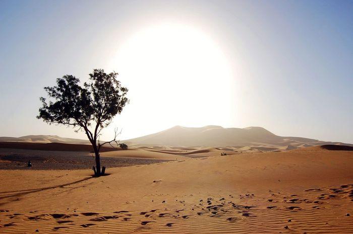 A lone tree somewhere in the Sahara desert. Morocco Sand Dune Tree Desert Arid Climate Clear Sky Mountain Sand Sunlight Sun Environment Single Tree
