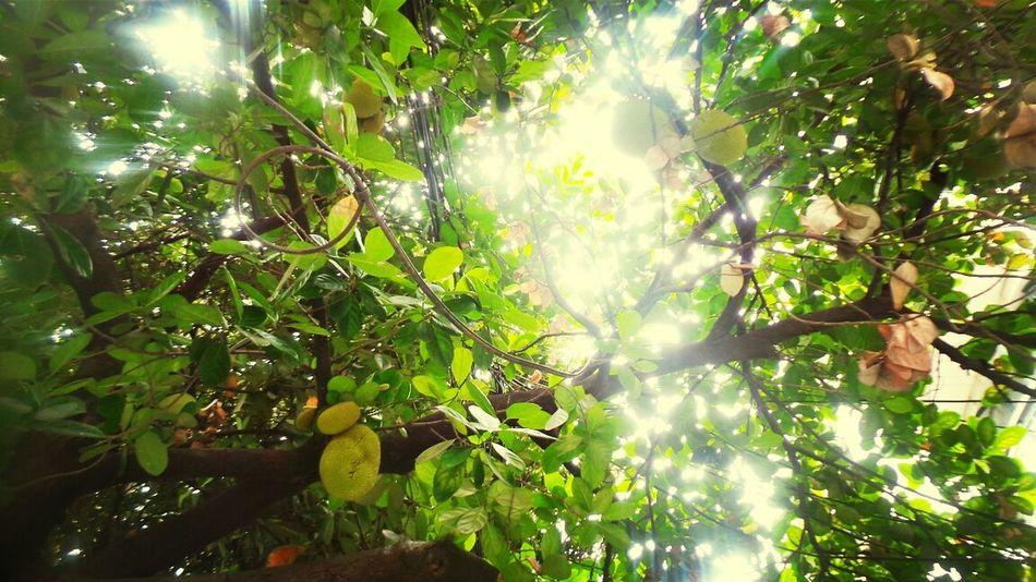 The jackfruit tree :) Nature