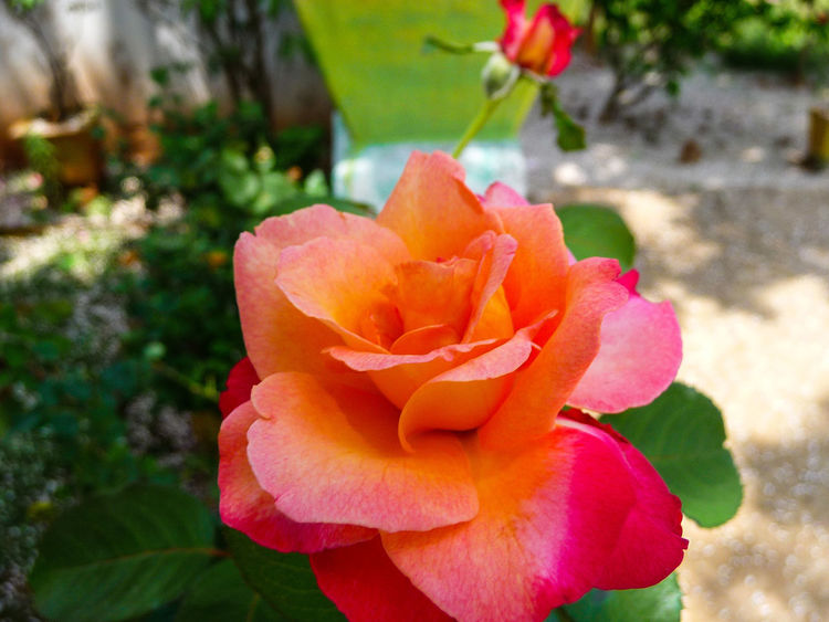 THE ROSE Flower Petal Nature Beauty In Nature Flower Head Growth Plant Blooming Freshness Fragility Day Close-up Outdoors No People