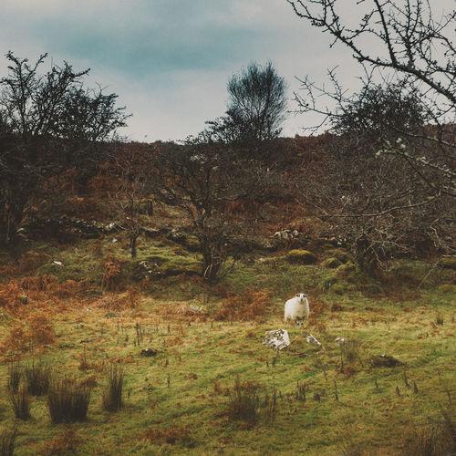Animal Themes Bare Tree Beauty In Nature Day Domestic Animals Field Flock Of Sheep Grass Grass Grazing Growth Ireland Killer Sheep Landscape Livestock Mammal Nature No People Outdoors Pasture Sheep Sky Tree Trees Westport Ireland
