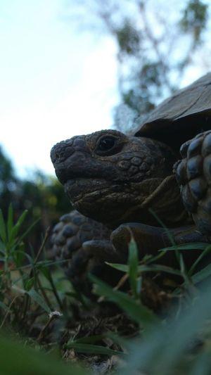 This guy just wanders around all day EyeEm Best Shots Close Up Desert Tortoise EyeEm Pets