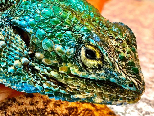 Blue head agama Nature Photography Agama Lephalale Iphonephotography