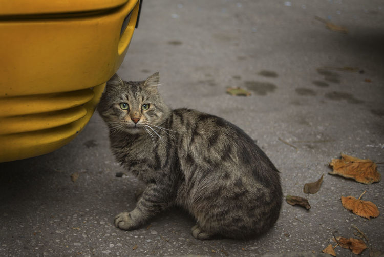 Animal Themes Cat Day Domestic Animals Feline Looking At Camera Mammal No People One Animal Outdoors Pets Portrait Stray Animal Whisker Yellow Leaves