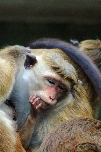 Animal Themes Animals In The Wild Close-up Day Mammal Monkey Nature No People One Animal Philosopher Sleeping Thinking About Life