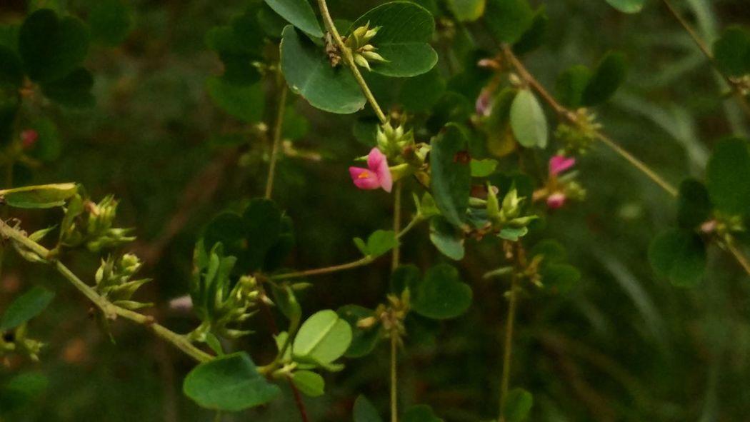 싸리꽃 Flower Freshness Selective Focus Pink Color Beauty In Nature Blossom Close-up Petal Softness