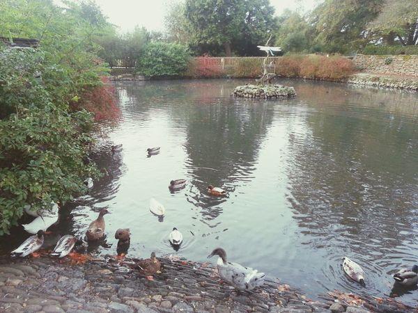 Duck off at Saltram