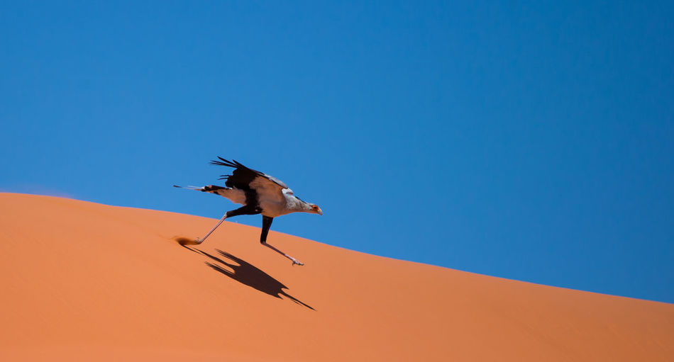 Secretary bird takes flight against a red dune and a clear blue sky. Animal Themes Animal Wildlife Animals In The Wild Arid Climate Beauty In Nature Birds Birds Of Prey In Wild Blue Brids Of Africa Clear Sky Copy Space Day Desert Low Angle View Nature No People One Animal Outdoors Raptors Red Blue Contrast Sand Sand Dune Secretary Bird Flying Sky Sunlight