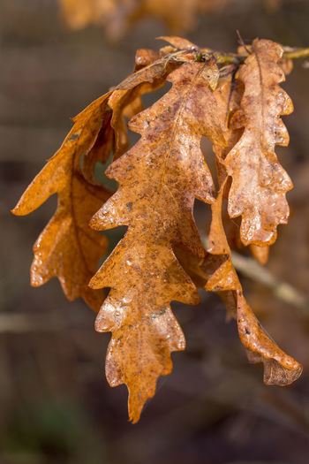 Close-up of dry leaves on plant during winter