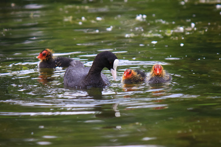 Coots swimming in lake