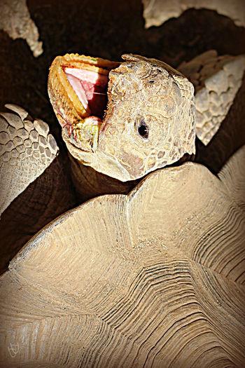 Desert Tortoise Desert Wildlife Fiesty Natural Pattern Tortoise