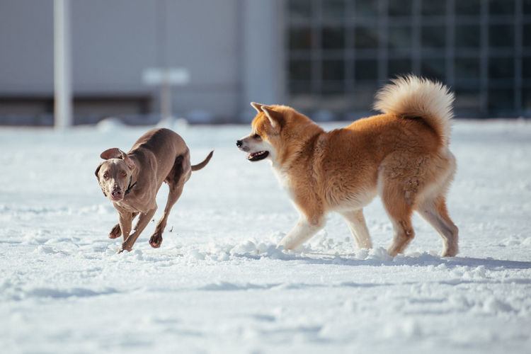 Dogs playing on snow covered land