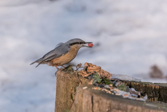 Eurasian nuthatch (Sitta europaea) taking nuts from bird feeder Sitta Europaea Animal Themes Animal Wildlife Animals In The Wild Bird Close-up Day Focus On Foreground Nature No People One Animal Outdoors Perching Wood - Material