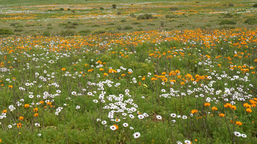 Scenic view of flowering plants on field