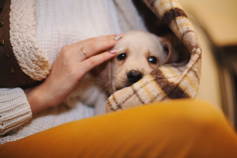 Pets Looking At Camera Mammal One Animal One Person Human Hand Human Body Part Domestic Animals Portrait Dog Lifestyles Animal Themes Real People Indoors  Close-up Home Interior Day Autumn Blanket Goldenretriever Labrador Retriever Labrador Friendship Young Women Puppy