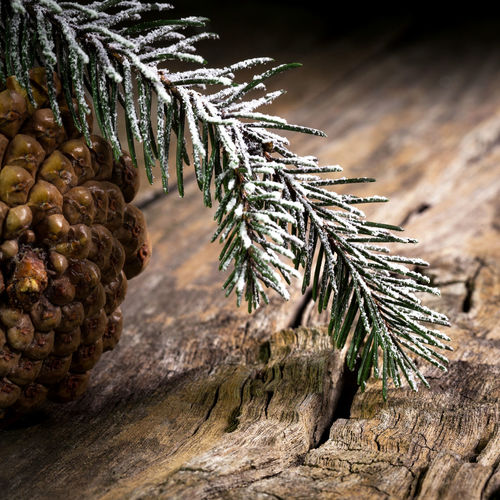 pine sprig with